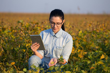 Agronomist With Tablet In Soybean Field