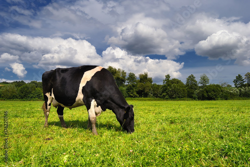 Fotobehang Koe Cow grazing on a green summer meadow in Hungary