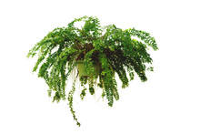 Hanging Fern Isolated White Ba...