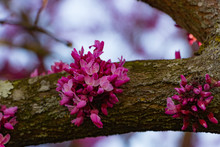 Redbud Blooms On A Tree Limb