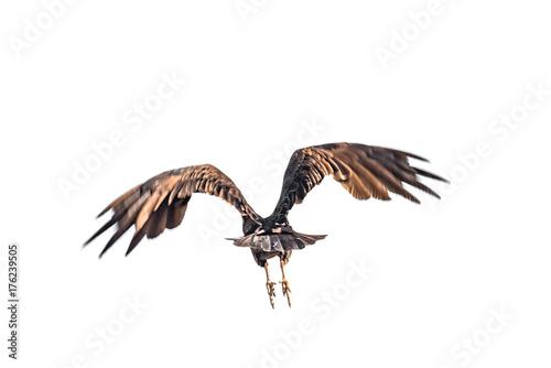 Turkey vulture in Peninsula Valdes, Patagonia, Argentina