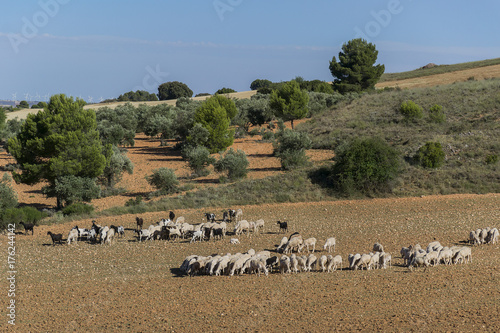 Fotografie, Obraz  Rebaño de ovejas