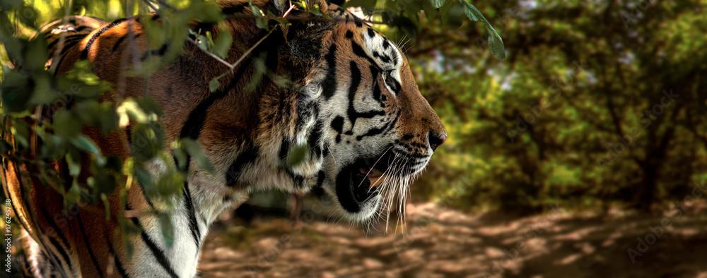 Wild Siberian tiger on nature