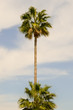 Isolated palm tree in a garden