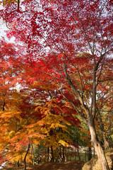 Panel Szklany Drzewa 紅葉