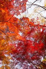 Fototapeta Drzewa 紅葉