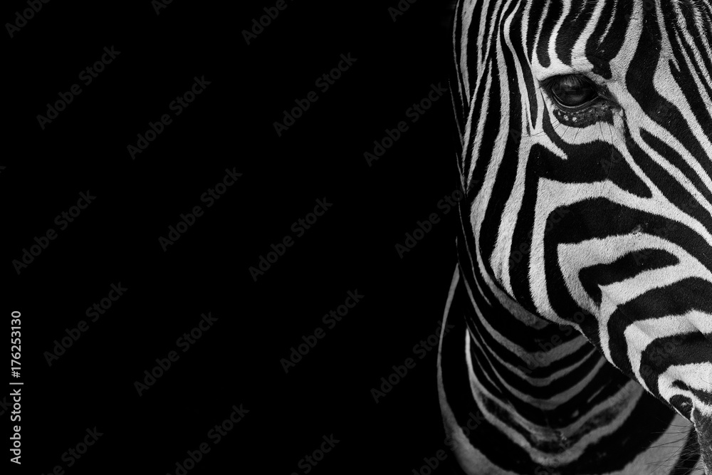 Fototapety, obrazy: portrait of zebra. Black and white version.