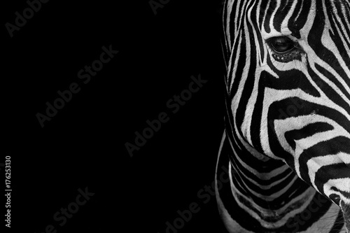 Photo portrait of zebra. Black and white version.