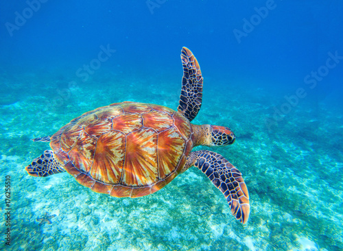 Sea turtle swims in sea water. Olive green sea turtle closeup. Wildlife of tropical coral reef.
