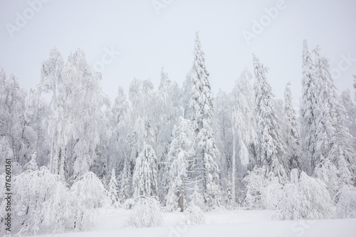 Fotobehang Lavendel Snowly winter forest at winter day