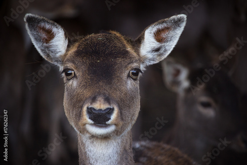 Canvas Prints Antelope Damwild