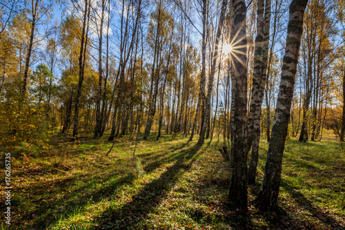 Birch forest on a clear autumn day.
