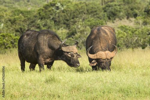 Recess Fitting Buffalo Two huge African buffalo grazing grass