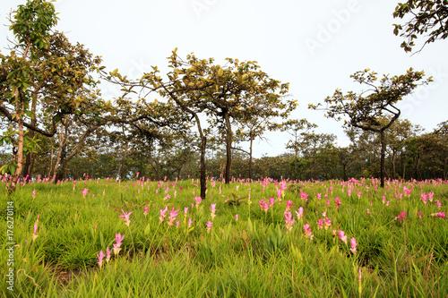 Fototapeta Krachai flower field obraz na płótnie