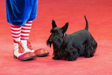 Black Terrier And Clown Feet On The Red Circus Arena