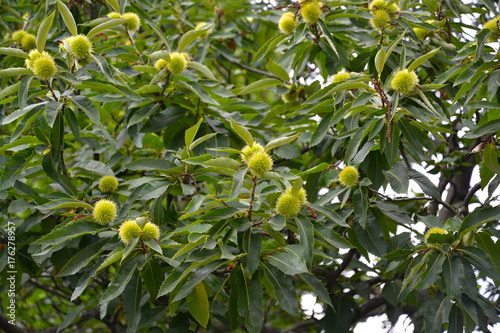 Sowing campaign chestnut (Castanea sativa Mill.), branches with fruits