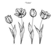 Tulip Flower Drawing.