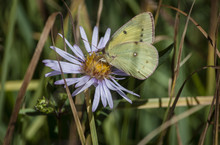 Dainty Sulphur Nathalis Iole Butterfly On Flower
