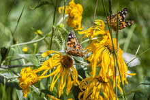 Silvery Checkerspot Butterfly On Yellow Flower
