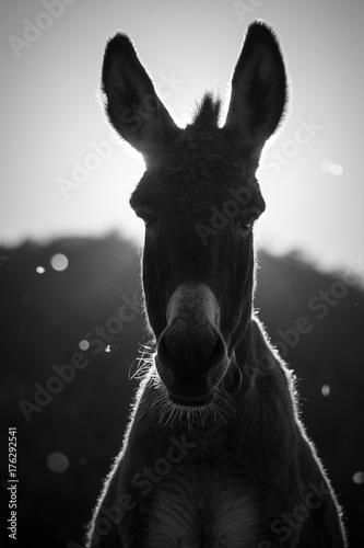 Âne (Donkey)