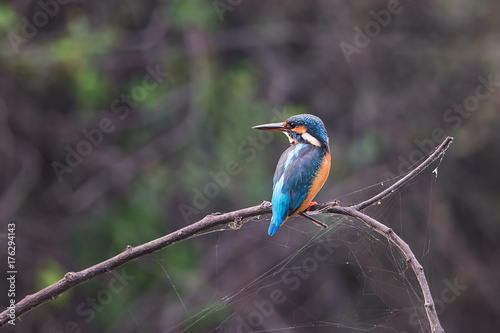 Fototapeta Common kingfisher (Alcedo atthis) sitting on a stick in Keoladeo Ghana National