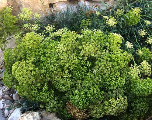 Fotografie, Obraz  Crithmum maritimun en fleur à divers stades d'épanouissement