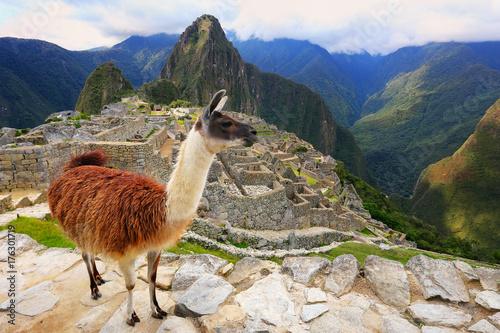 Poster Lama Llama standing at Machu Picchu overlook in Peru