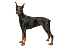 Young Doberman On White Backgr...
