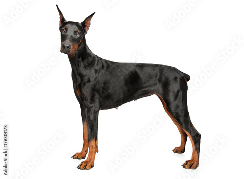 Young Doberman on white background Fototapete
