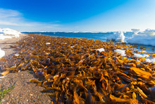 A Lot Of Laminaria (Kelp) Is S...