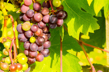 English Grapes Growing In North England