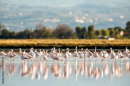 Flamingos in Italiens Salinen, Emilia Romagna