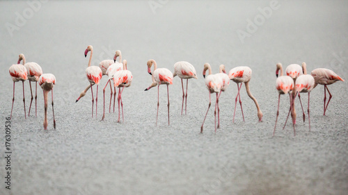 Foto op Canvas Flamingo Flamingos in Italiens Salinen, Emilia Romagna