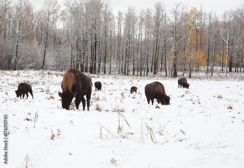Poster Chasse herd of bison on a snowy plain