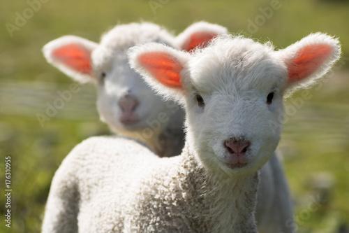 Foto op Aluminium Schapen Twin Lambs