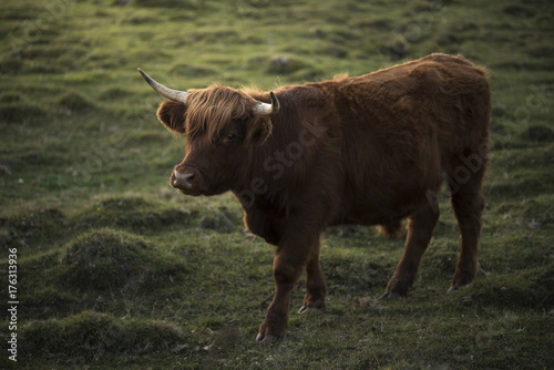 Canvas Prints Highland Cow Beef cattle with long horns walking on a field