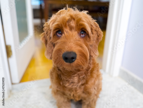 Fotografie, Obraz  Portrait of miniature golden doodle with droopy expression