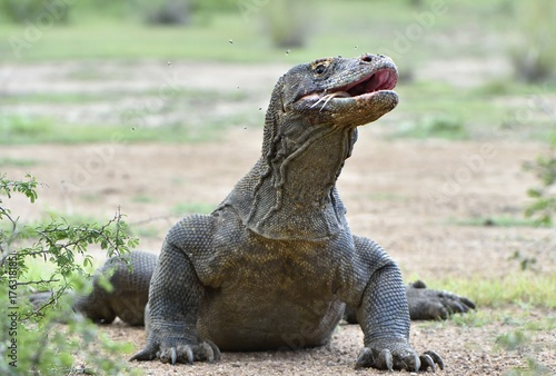 The Portrait of Komodo dragon ( Varanus komodoensis ) with opened a mouth. Biggest living lizard in the world. Island Rinca. Indonesia.
