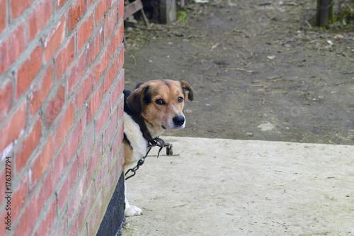 Foto  Mischlingshund auf einer Kette