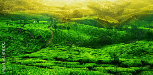 Photo  Tea plantation landscape. Munnar, Kerala, India