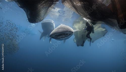 Plakat Wielorybi rekin karmi pod spławową połów platformą, Cenderawasih zatoka, Zachodni Papua, Indonezja.