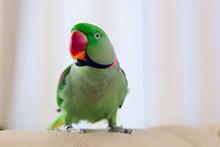 Green Parrot Sitting On Sofa. ...