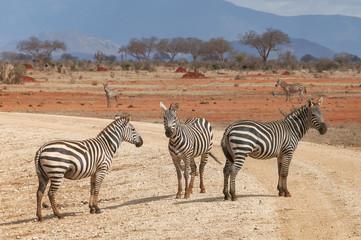 Fototapeta na wymiar Group of zebras standing on the road.