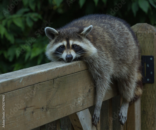 Photo Young raccoon resting on deck railing on a very hot day, looking into the  camera lens