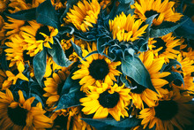 Sunflowers With Dark Leaves Background.