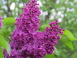 Remember the smell of Lilacs? (The Vast Russia! Sergey, Bryansk.)