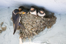 Birds And Animals In Wildlife. The Swallow Feeds The Baby Birds Nesting