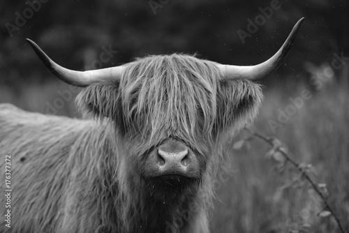 Fototapety, obrazy: Highland cow head shot in monochrome.