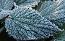 Frozen Nettle Leaves