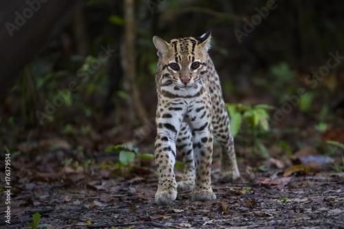Fotografie, Obraz  Ozelot kommt aus dem Dschungel